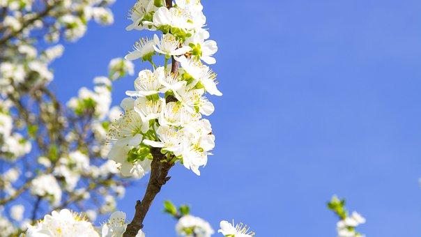 Flower, Cherry, Plum, Blossoming Cherry, White Flowers