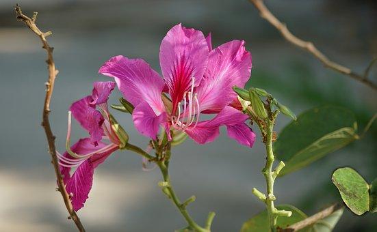 Orchid Tree, Purple Bauhinia, Camel's Foot