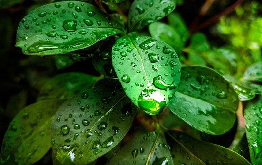 Plant, Green Leaf, Rain, Rain Drops, Nature, Leaves