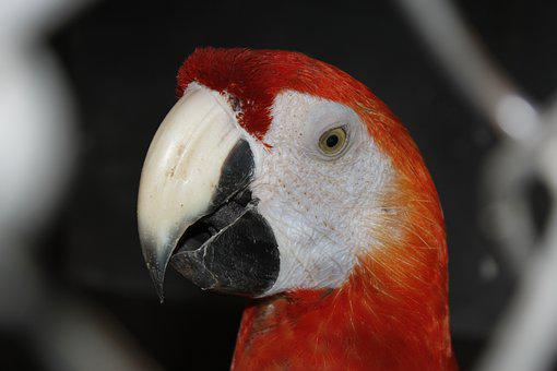 Parrot, Bird, Cage, Red