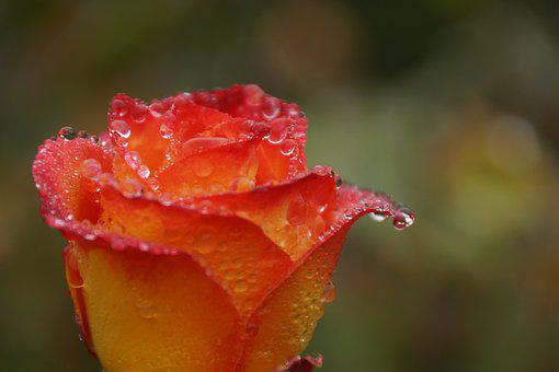 Red, Orange, Rose, Water, Drops, Droplets