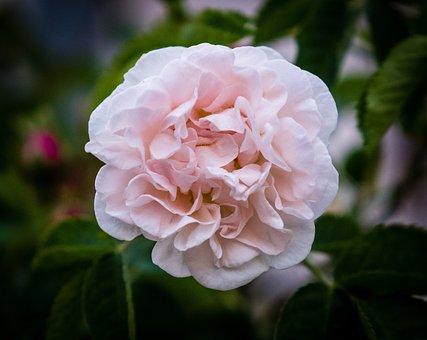 Rose, Rose Bloom, Bud, Orange, Red, Green, Bloom
