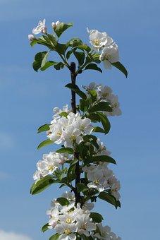 Blossom, Sierappelboom, Spring, Nature, Tree, Bloom
