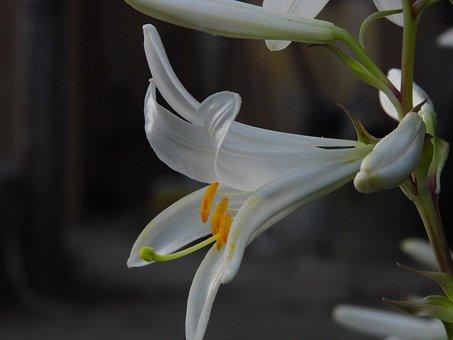 Lily, Lilium, Flower, White Flower, Sticks