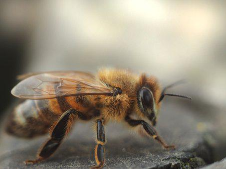 Bee, Robotnica, Pollination, Insect, Osa, Summer