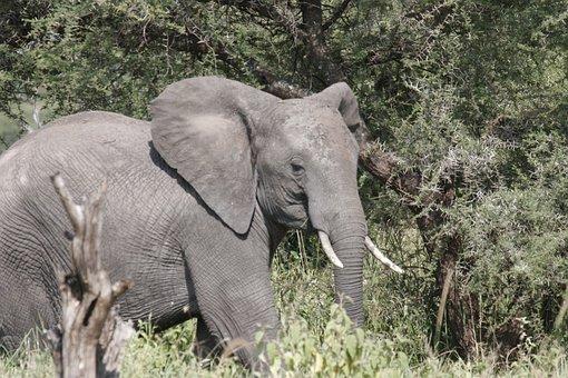 Elephant, Africa, Tarangire, Wildlife, Wild, Safari