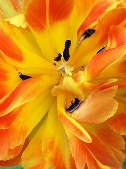 Flower, Tulip, Yellow, Orange, Spring