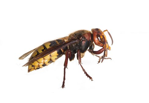 Hornets, Hornets Queen, Insect, Wasps, Wasp, Macro