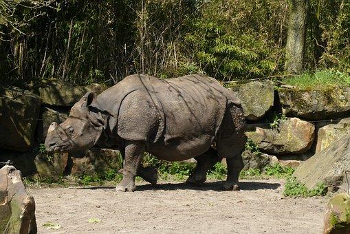 Rhino, Zoo, Bijdorp, Rotterdam, Indian Rhino