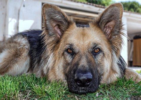 Dog, Animal, Sheepdog, Dog Wolf, German Shepherd Dog
