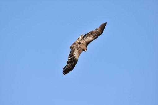 Animal, Sky, Bird, Wild Birds, Raptor, Video, Feathers