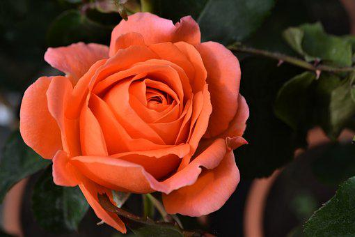 Rose, Orange, Blossom, Bloom, Flower, Orange Rose