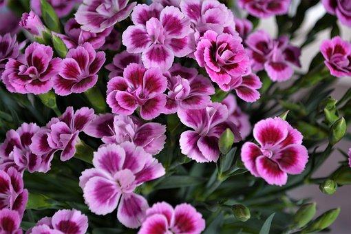 Purple, Pink, Flower, Blossom, Bloom, Nature, Plant