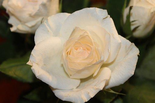 Rose, White Rose, Open Rose, Blossom, Bloom