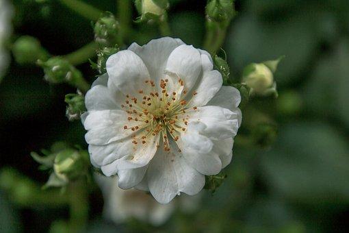 White Rose, Flower, Rose, Blossom, Bloom, Open Rose
