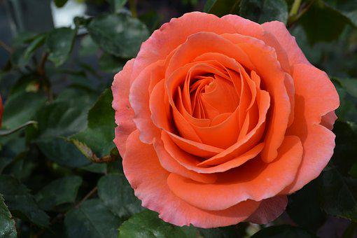 Orange, Rose, Blossom, Bloom, Flower, Orange Rose