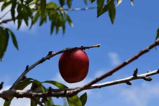 Tree, Blue Sky, Fruit, Fresh, Branch, Nature, Garden
