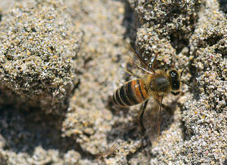 Bee, Sand, Insect, Close, Beach, Earth, Camouflage