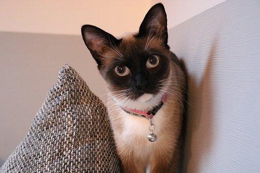 European Shorthair, Siam, Cat, Animal, Domestic Cat