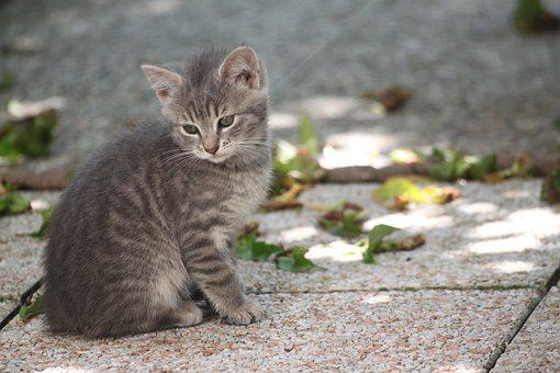 Domestic Animal, Kitten, Tabby, Grey, Cute, Cat