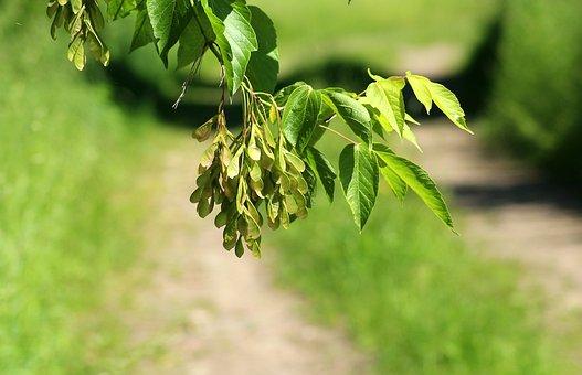 Ash, Clone Jesionolistny, Tree, Spring, Green, Foliage