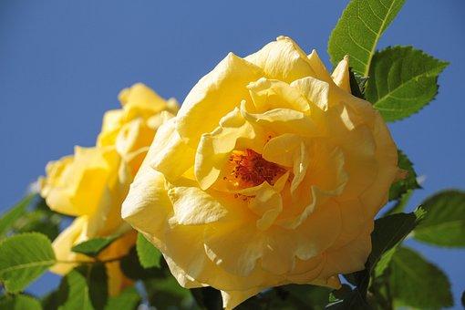 Rose, Yellow, Bright Yellow, Open Roses, Petals, Close