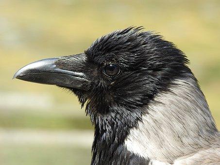 Crow, Head, Bill, Bird, Animal, Raven, Raven Bird