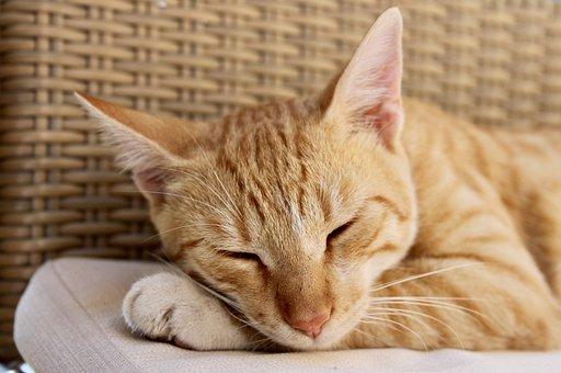Cat, Tired, Domestic Cat, Sleep, Lazy, Cute, Animals