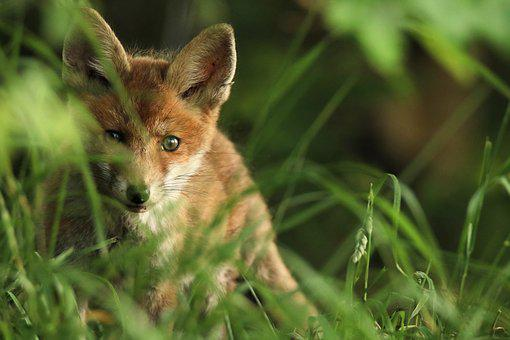 Fuchs, Puppy, Young, Curious, Ears, Sweet, Cute, Fluffy