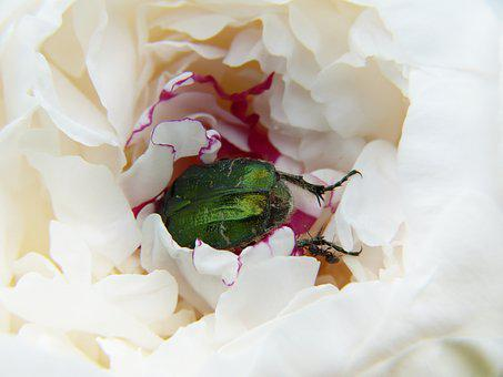Peony, Beetle, Rose Beetle, Paeonie, Determined