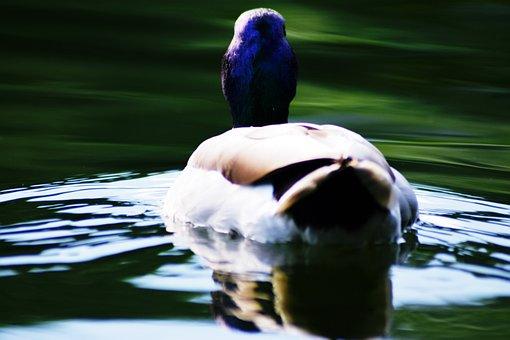 Mallard Duck, Aquatic, Lake, Duck, Nature, Teal, Bird