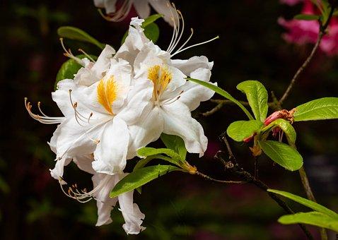 Azalea, Azaleas, Rhododendron, Flower, Spring, Flowers