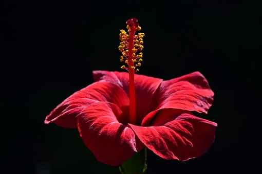Hibiscus, Blossom, Bloom, Flower, Red, Plant, Mallow