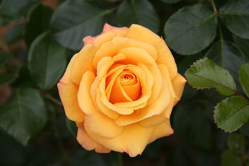 Rose, Beautiful, Flower, Floral, Love, Blossom, Nature