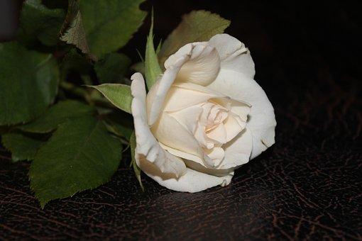 White Rose, Rose, White Roses, Open Rose, Flower
