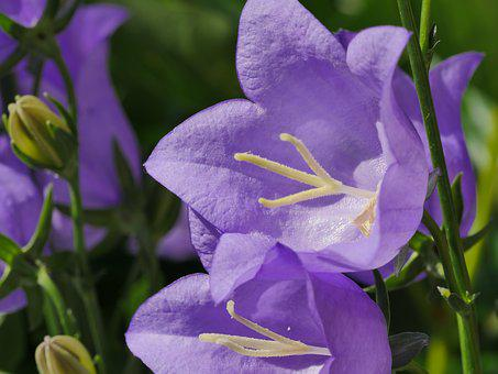 Bellflower, Flowers, May, Spring, Flower, Purple, Close