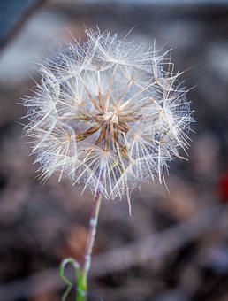 Dandelion, Withered, Nature, Spring, Flowers, Seeds