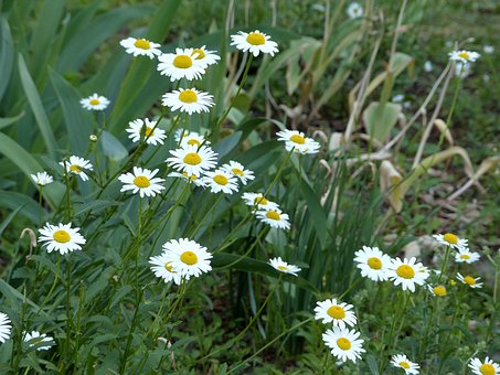 Chamomile, Flowers, Flowers Of The Field, White Flowers