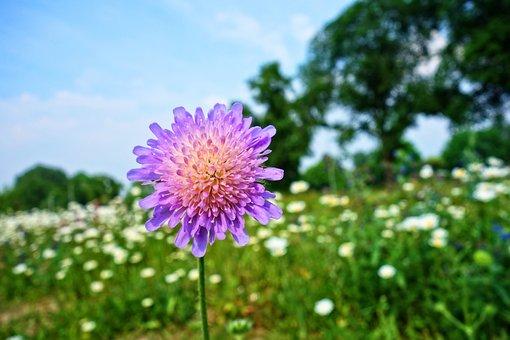 Knautia Arvensis, Field Scabious, Gypsy Rose, Flower