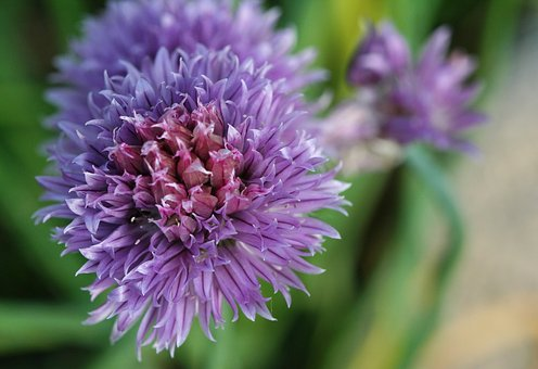 Chives, Herbs, Aromatic Plant, Garden, Aromatics