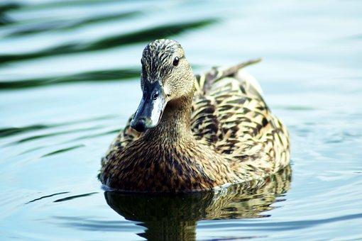 Mallard Duck, Aquatic, Lake, Duck, Nature, Bird
