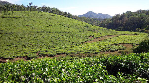 Munnar, Kerala, Plantation, Green, Landscape, Tea, Hill