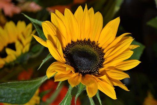 Sun Flower, Close, Nature, Summer, Yellow, Plant