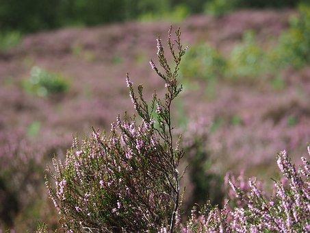 Heide, Nature, Outdoor, Landscape, Flowering