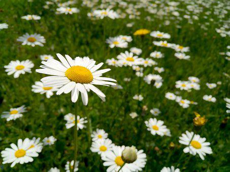 Marguerite, Flower, Blossom, Bloom, Nature, Garden
