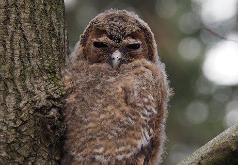 Owl, Bird, Tawny, Owls, Animals, Night Active, Beak
