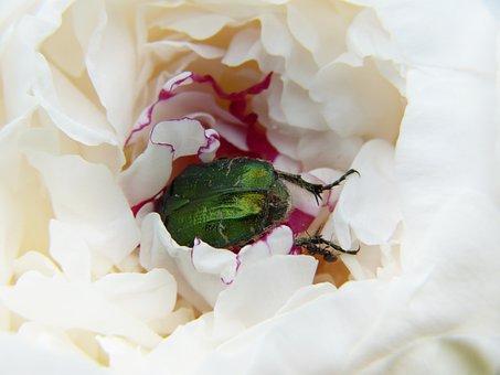 Peony, Beetle, Rose Beetle, Paeonie, Determined
