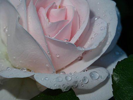 Rose, Pink, Drip, Passionately, Blossom, Bloom, Flower