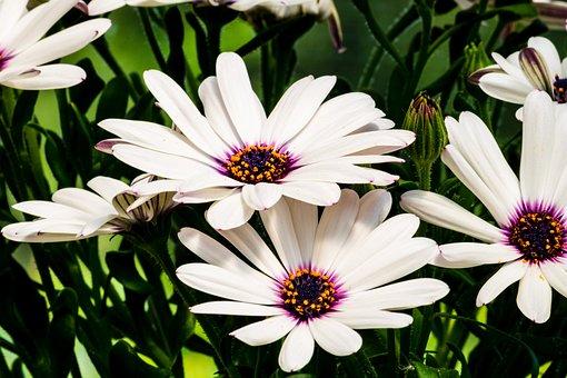 White, Yellow, Pink, Summer, Flowers, Spanish Daisies