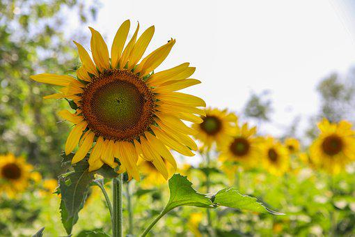 Sunflower, Flower, Green, Sun, Yellow, Nature, Plant